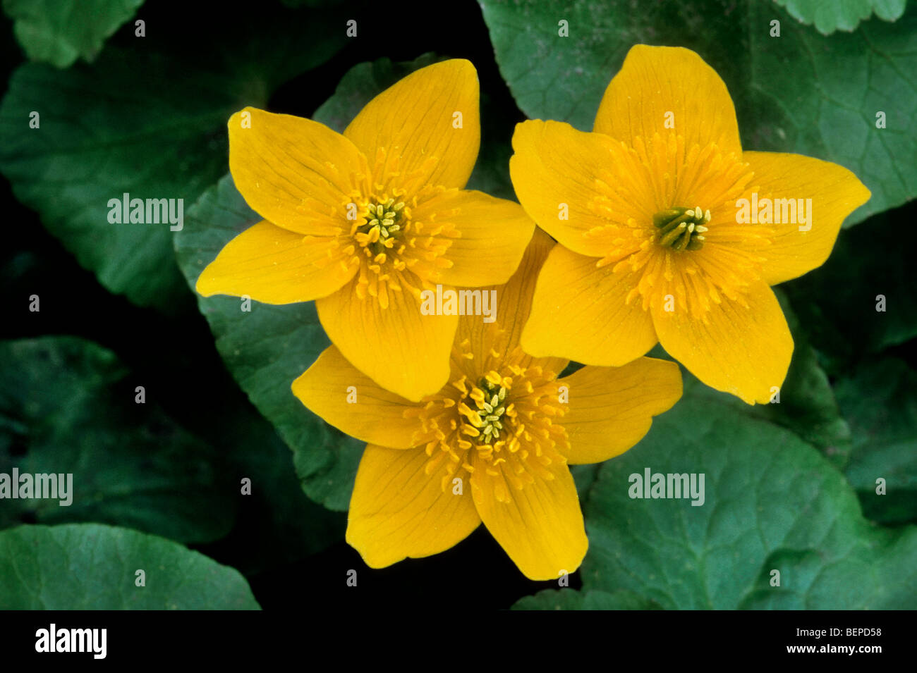 King Cup Flowers Marsh Marigold Stock Photos King Cup Flowers
