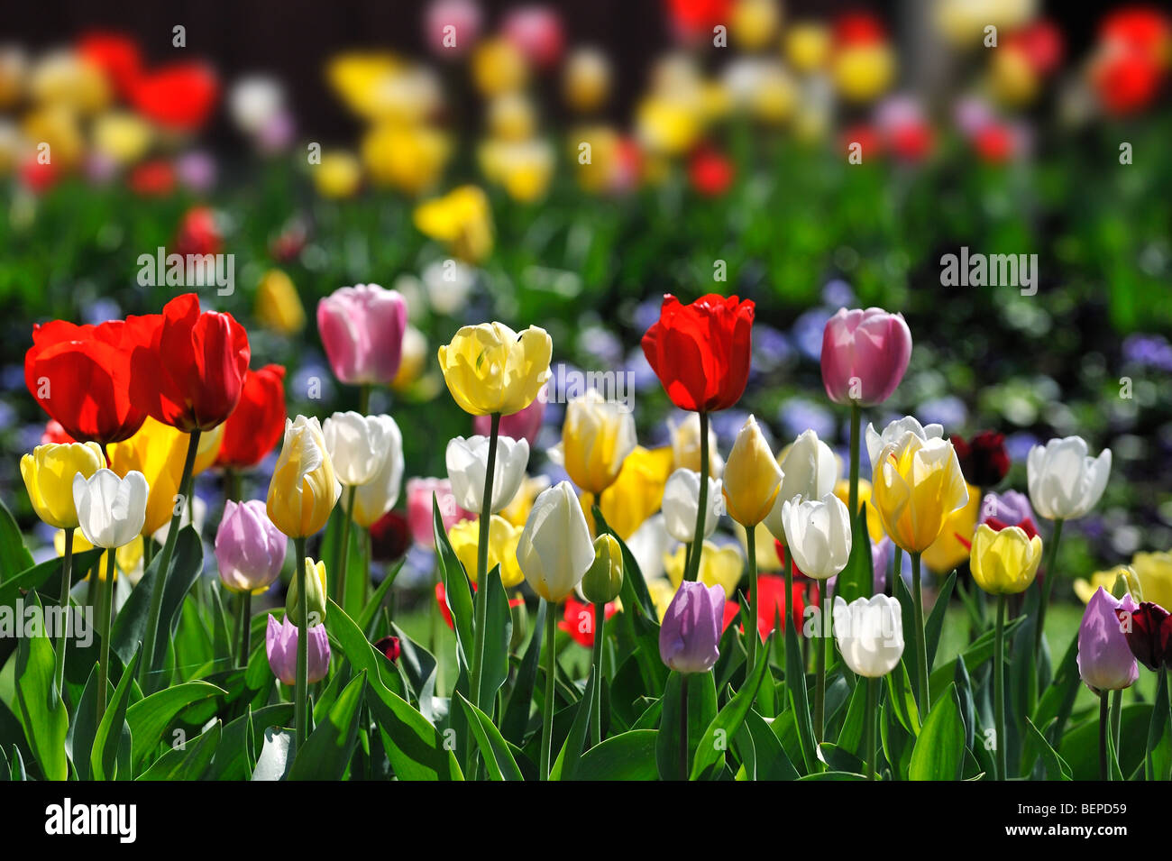 Colourful tulips (Tulipa sp.) flowering in flower garden of Keukenhof in spring near Lisse, Holland, the Netherlands - Stock Image