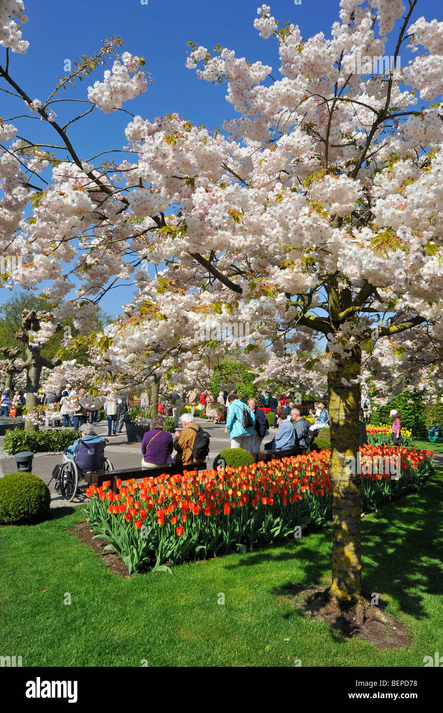 Colourful tulips and Japanese cherry (Prunus serrulata) in flower garden of Keukenhof in spring, Lisse, Holland, - Stock Image