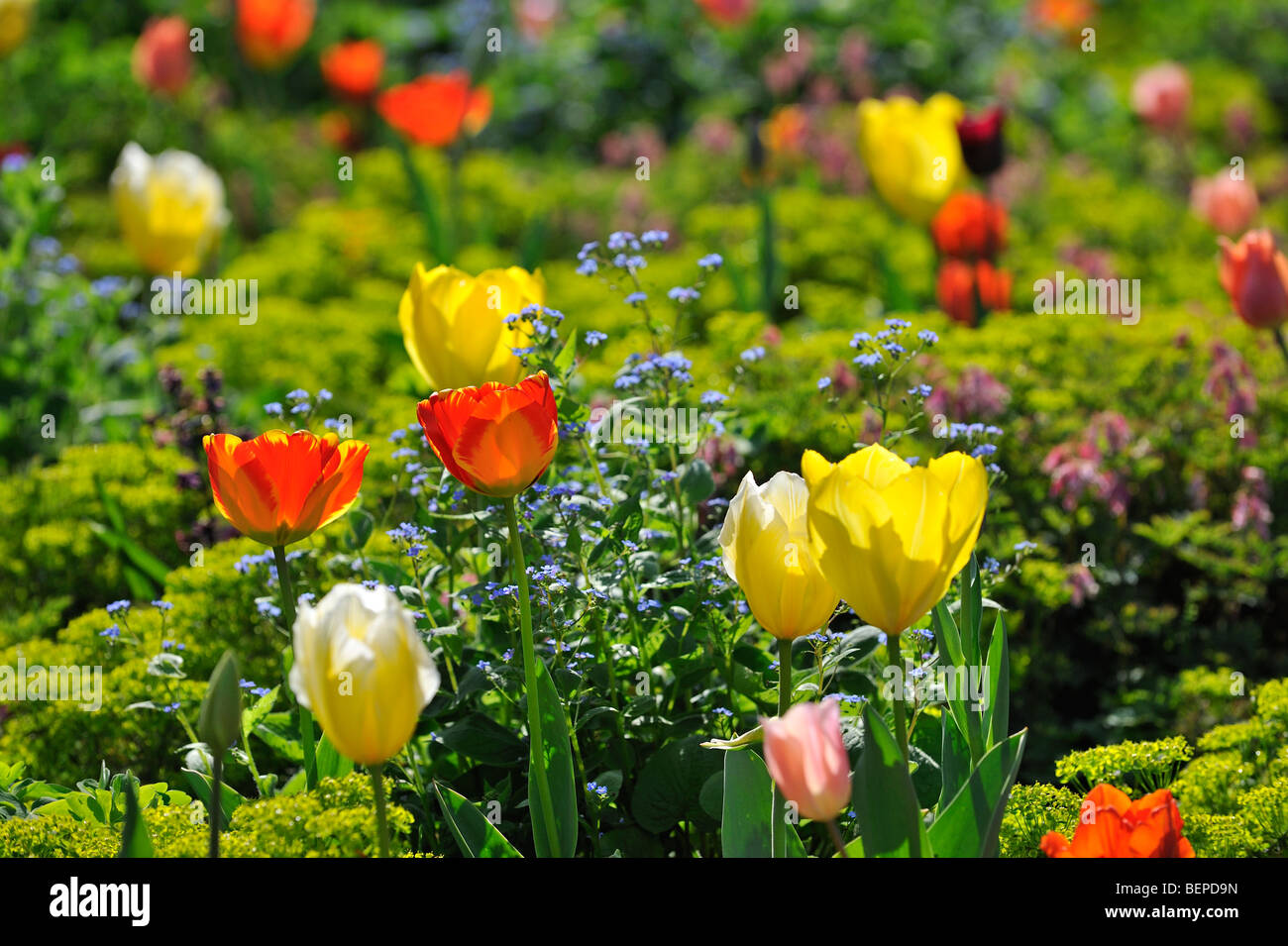 Colourful tulips (Tulipa sp.) and other flowers in flower garden of Keukenhof near Lisse, Holland, the Netherlands - Stock Image