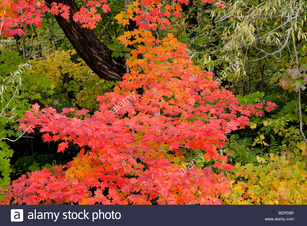 Maple leaf the symbol of Canada in autumn colours in Rouge Park an urban wilderness in Toronto Ontario Canada - Stock Image