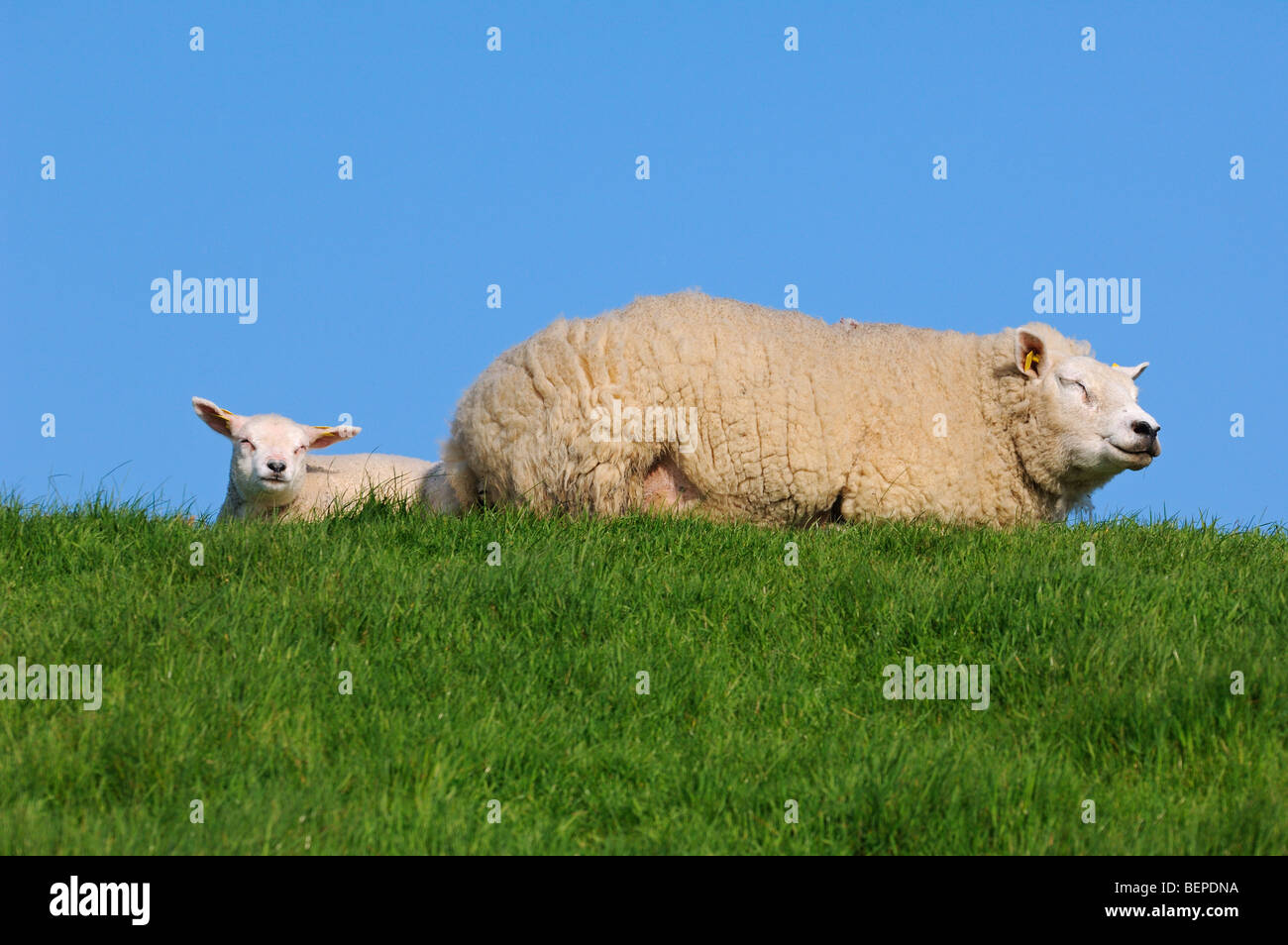 Domestic Texel sheep (Ovis aries) ewe with white lamb resting in meadow, The Netherlands - Stock Image