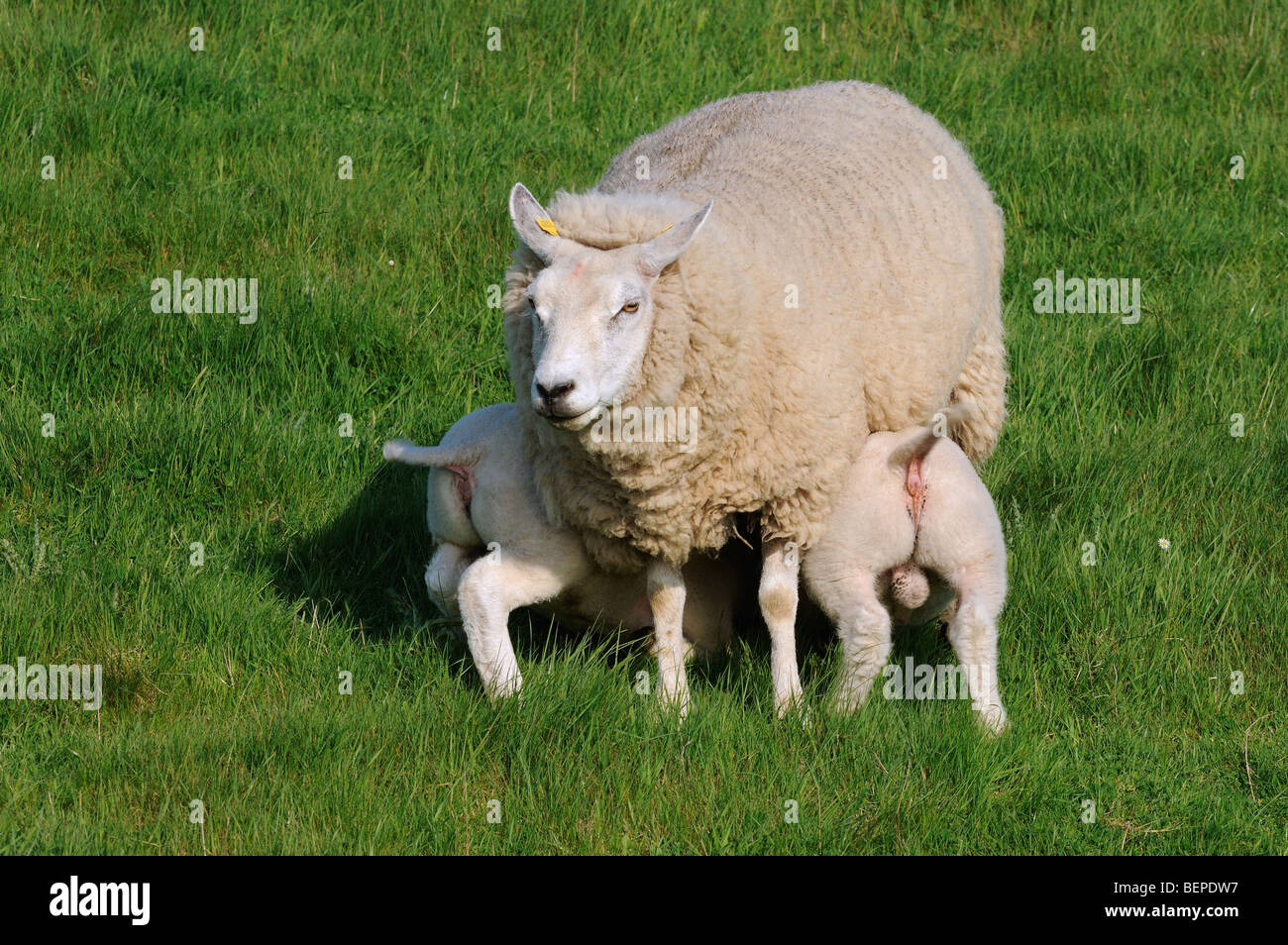 Domestic Texel sheep (Ovis aries) ewe suckling twin lambs, the Netherlands - Stock Image