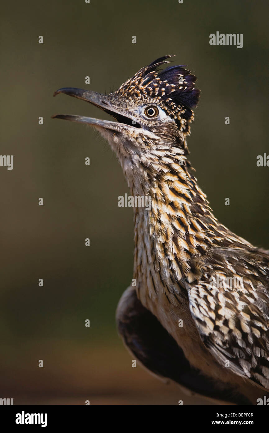 Greater Roadrunner (Geococcyx californianus),adult portrait, Starr County, Rio Grande Valley, Texas, USA - Stock Image
