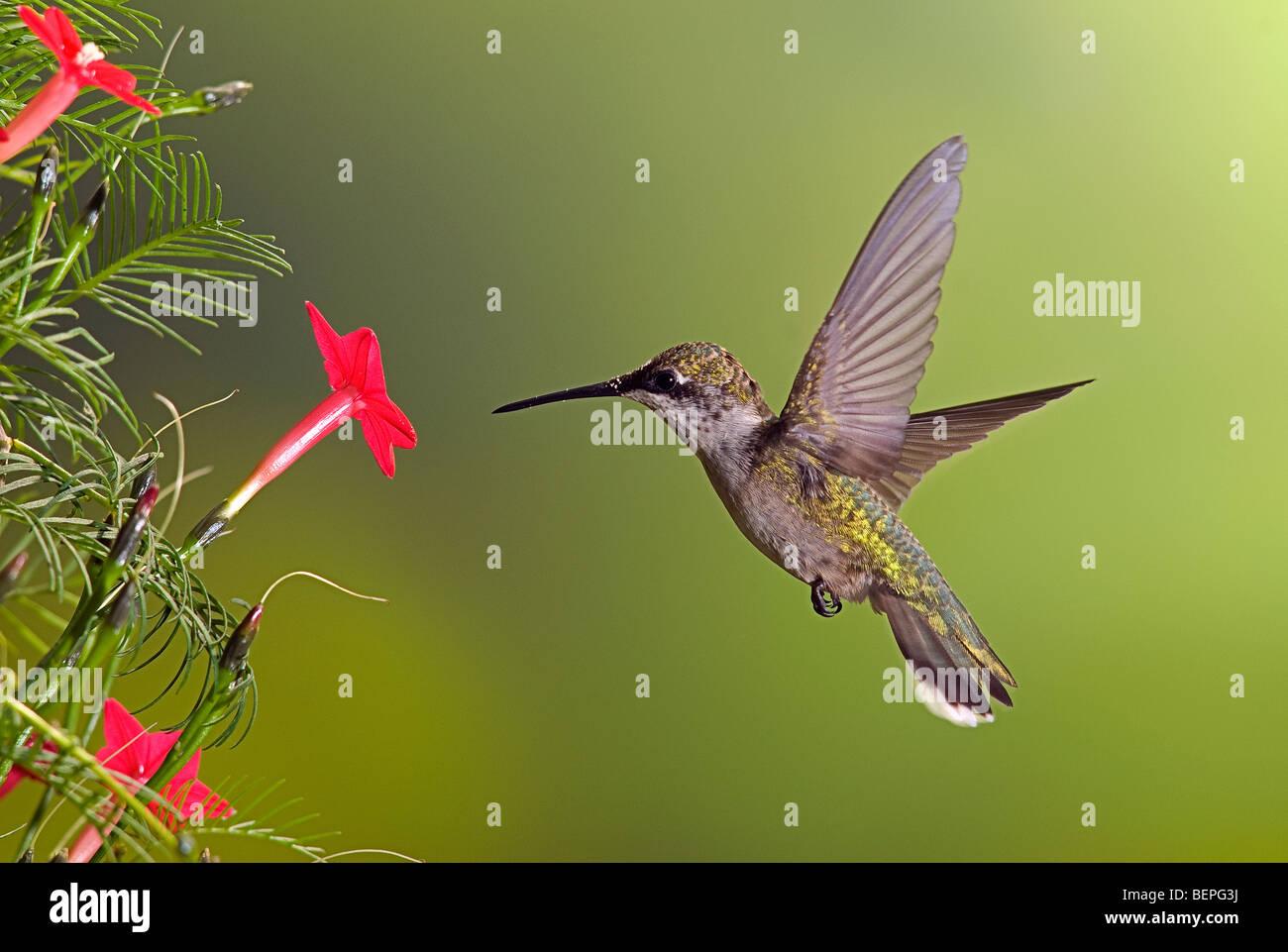 Young immature male ruby-throated hummingbird feeding on Cypress vine blossom.  Archilochus Colubris. Stock Photo