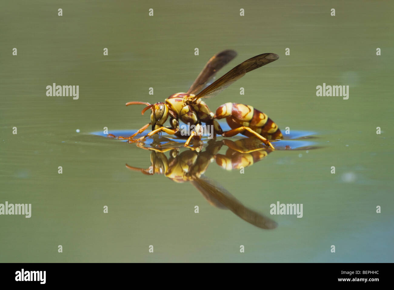 Paper Wasp (Polistes sp.), wasp drinking from water surface, Rio Grande Valley, Texas, USA - Stock Image