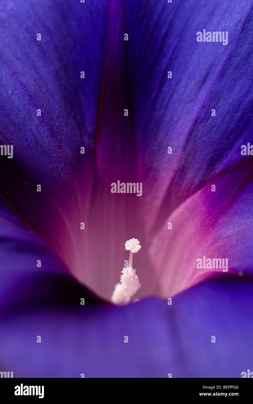 Morning glory, blue flower, royal blue, white, stamen, flower, flowers, creeper, macro, close-up, close up - Stock Image