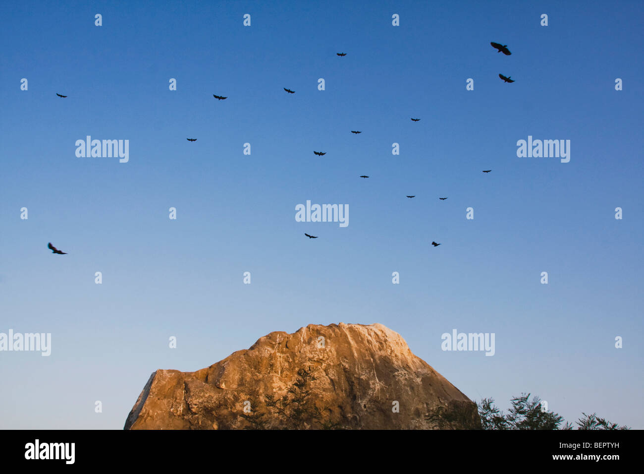 Turkey Vulture (Cathartes aura), adults in flight at roost, Rio Grande Valley, Texas, USA - Stock Image