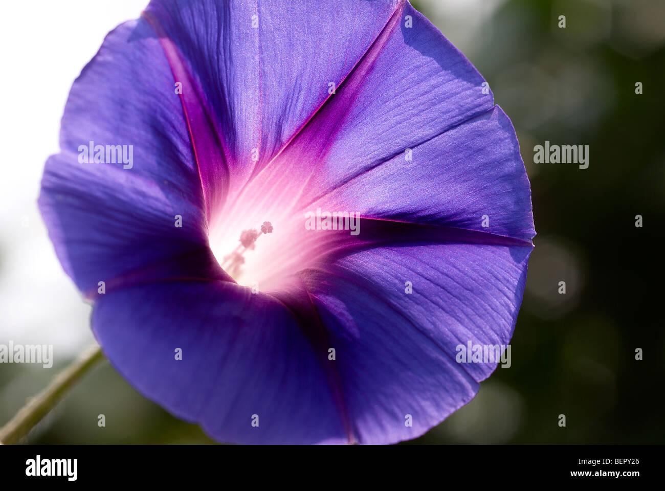 Morning Glory Blue Flower Royal Blue White Stamen Flower Stock