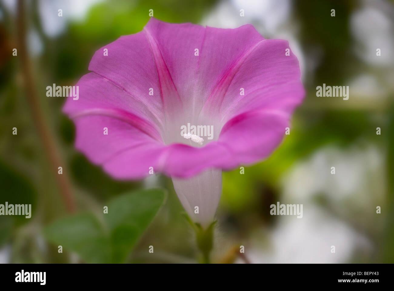 Morning glory, purple flower, purple, white, stamen, flower, flowers, creeper, close-up, close up, macro - Stock Image