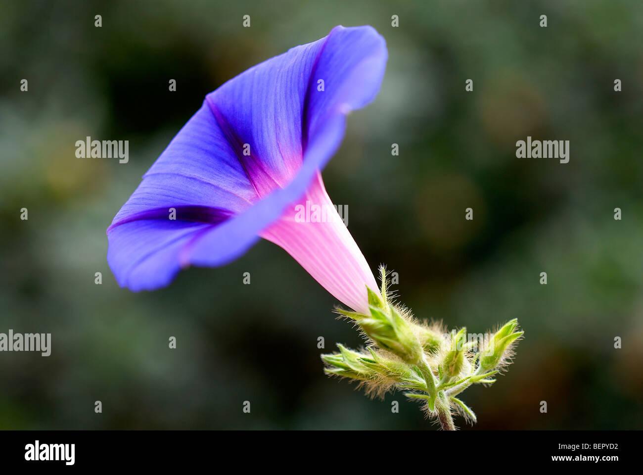 Morning glory, blue flower, royal blue, creeper, flower, flowers, close-up, close up, focus, macro, profile, white, - Stock Image