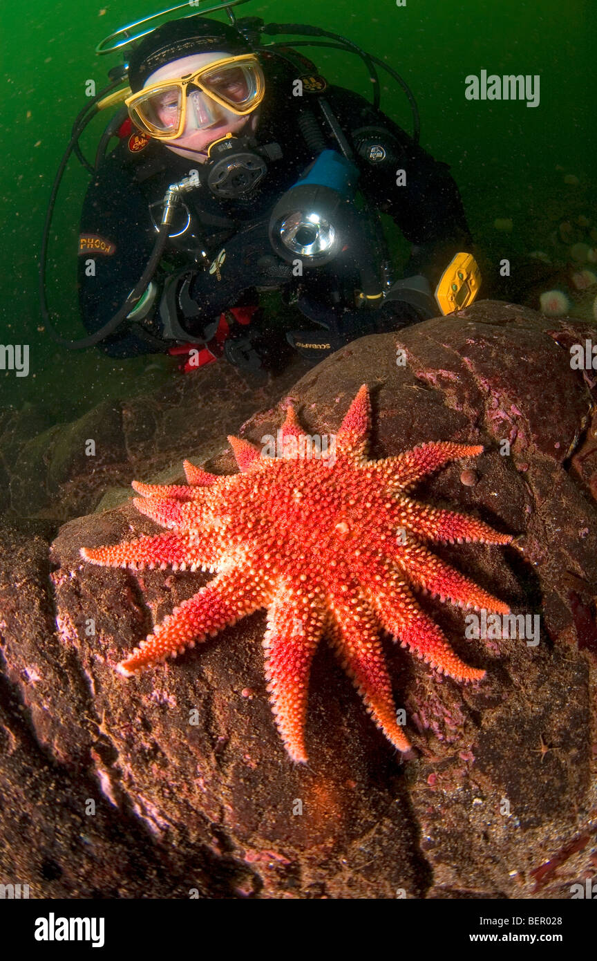 Diver finds red Sunstar Solaster papposus on reef - Stock Image