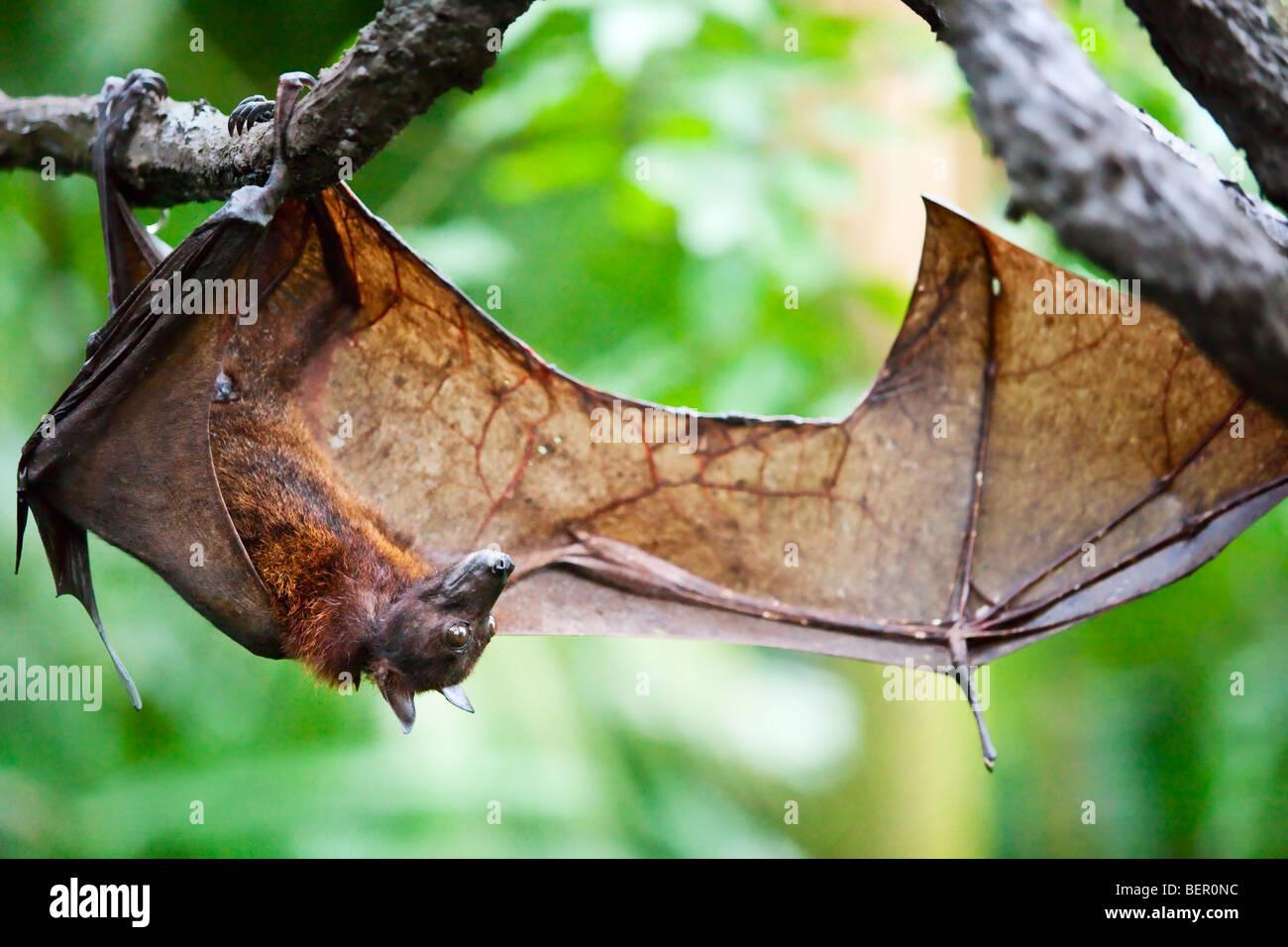 Portrait of a fruit bat Stock Photo