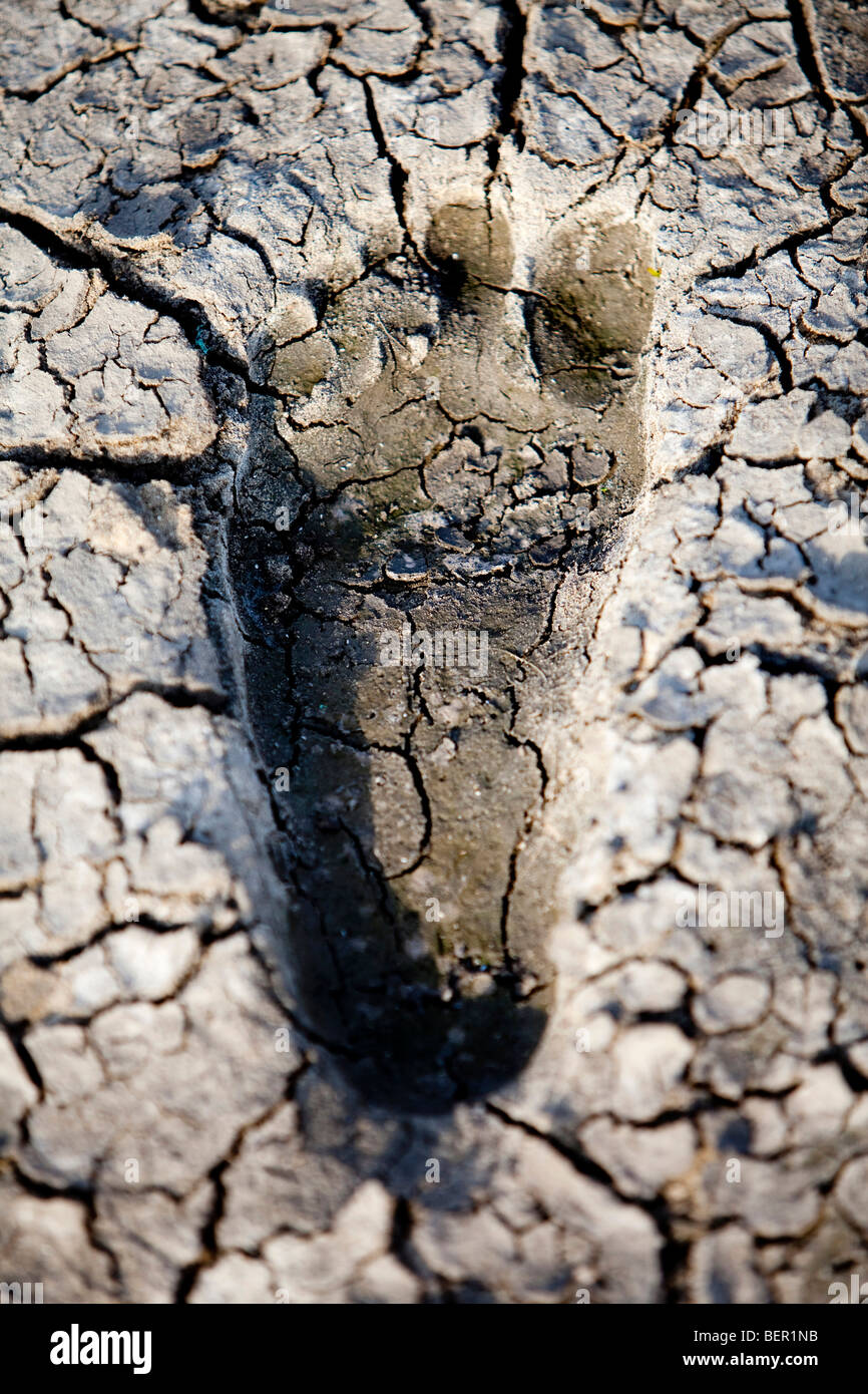 environmental concept, Water shortage and drought footprint in dry mud - Stock Image