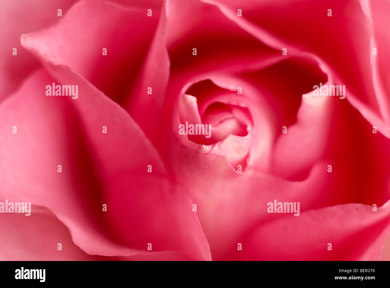 Pink rose, rose bud, petals, pink, red, flowers, flowers, macro, close-up, close up - Stock Image