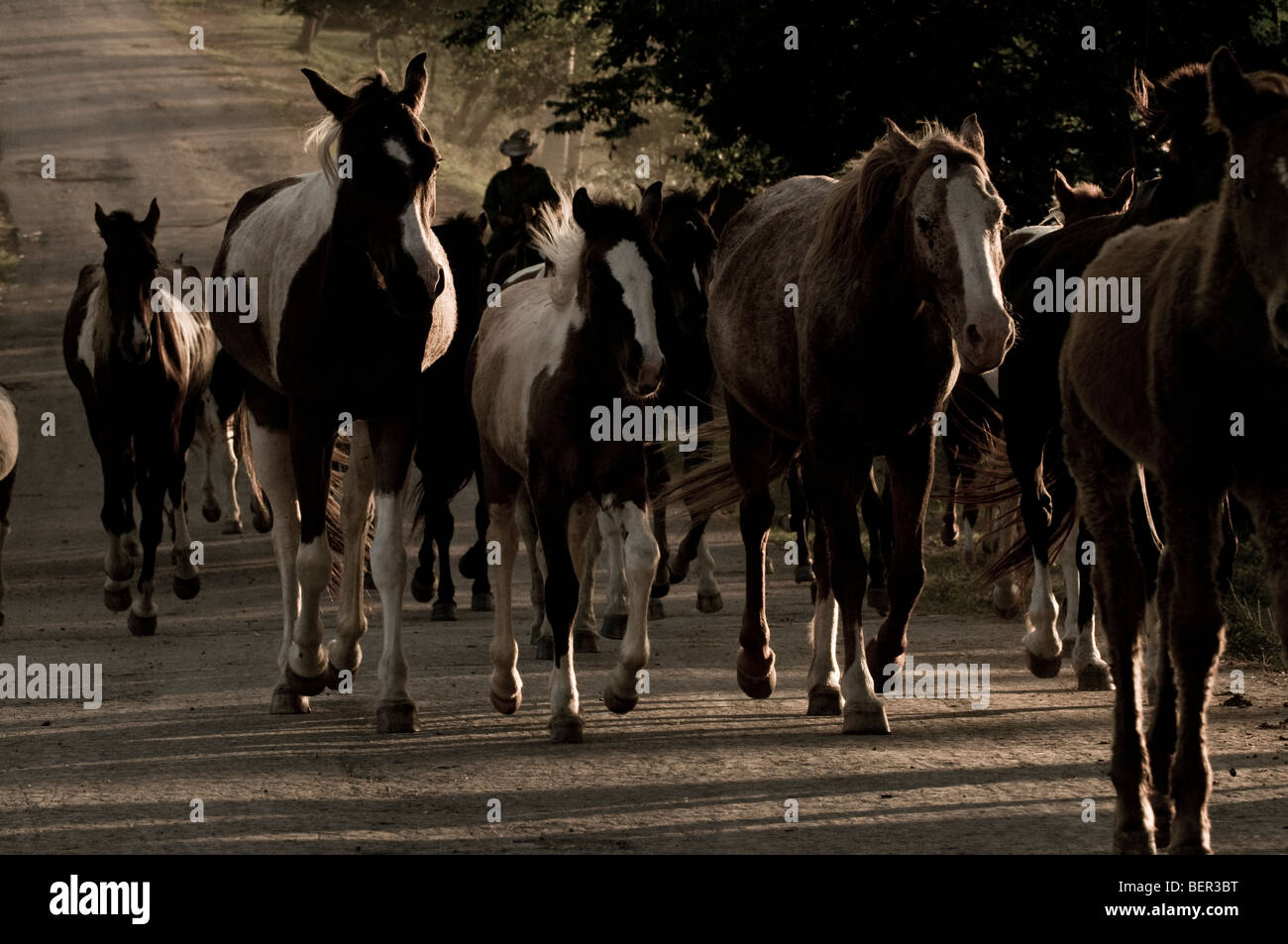 A herd of brood mares trot swiftly along a dusty road at sunset. - Stock Image