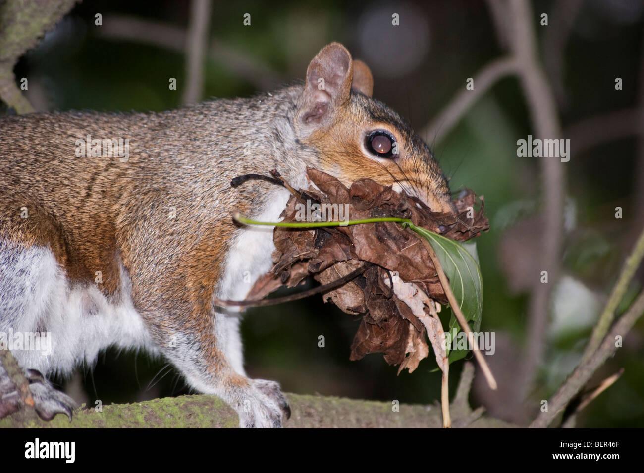 Grey squirrel gathering leaf litter in summer Scotland - Stock Image