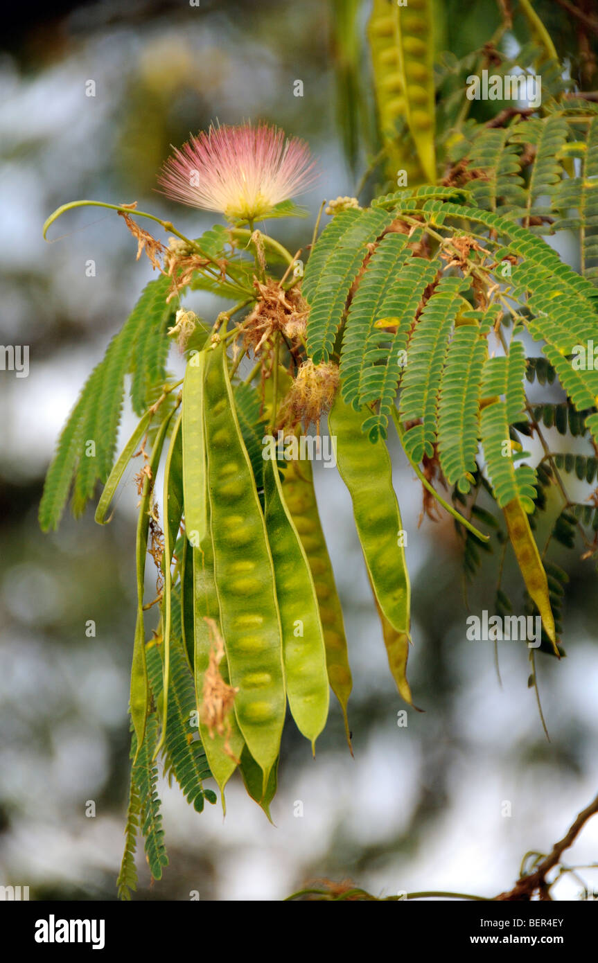 Flower And Seed Pods Of An Acacia Tree Northern Greece Stock Photo