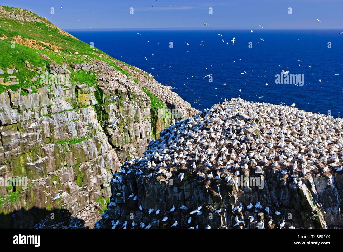 Northern Gannets, Morus bassanus, nesting on Bird Rock at the Cape St Mary's Ecological Reserve, Cape St Mary's, - Stock Image