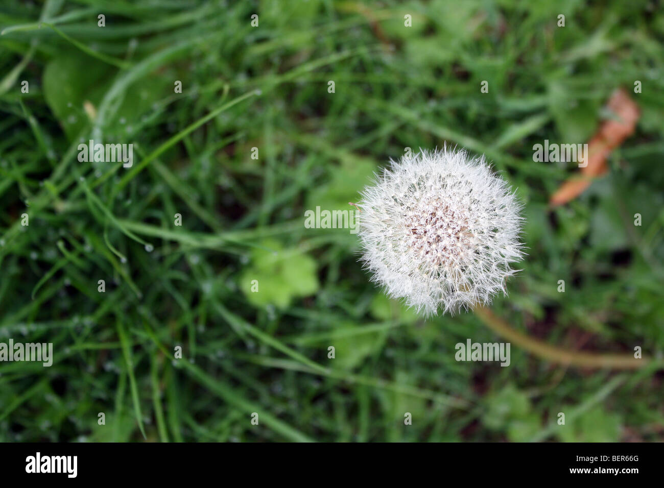 dandelion flower in field - Stock Image