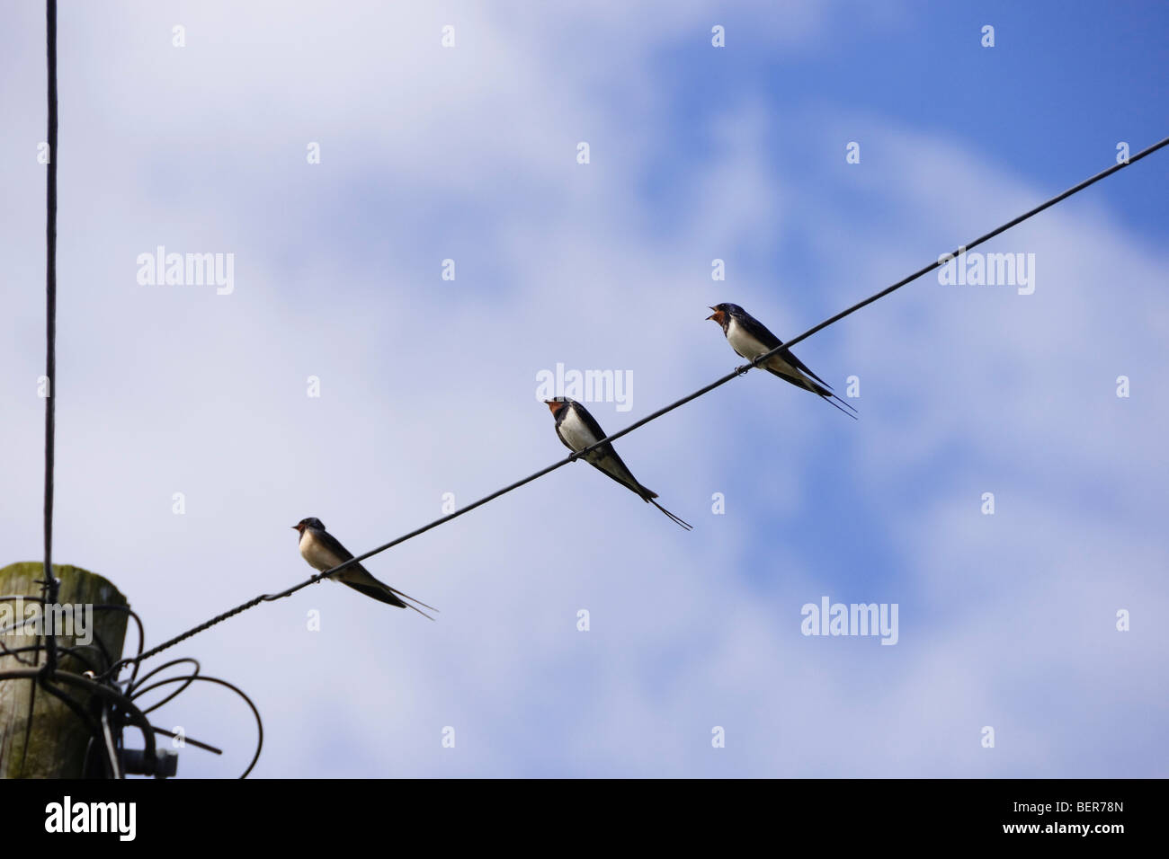Swifts on a wire - Stock Image