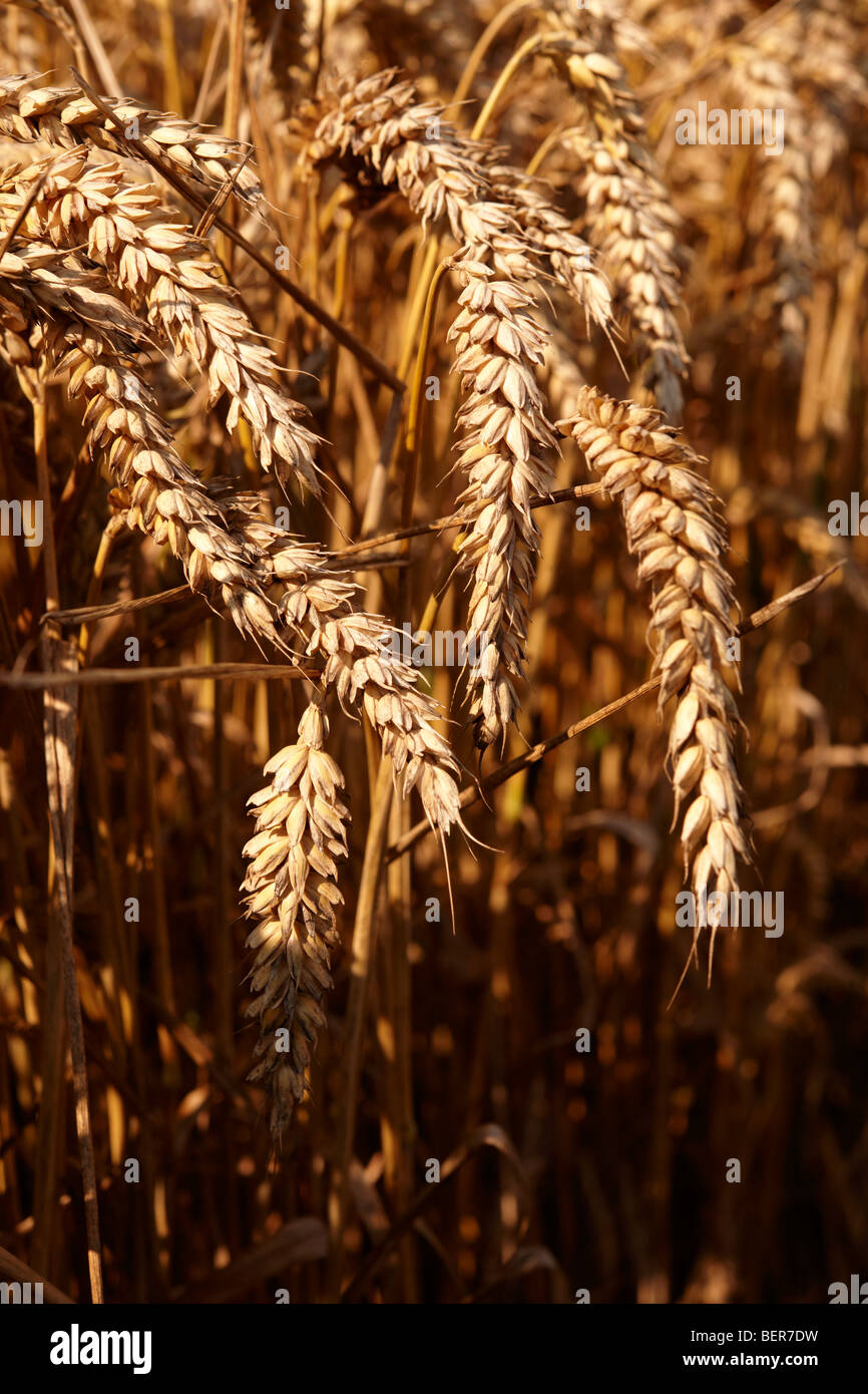 Wheat field ready to harvest - Stock Image