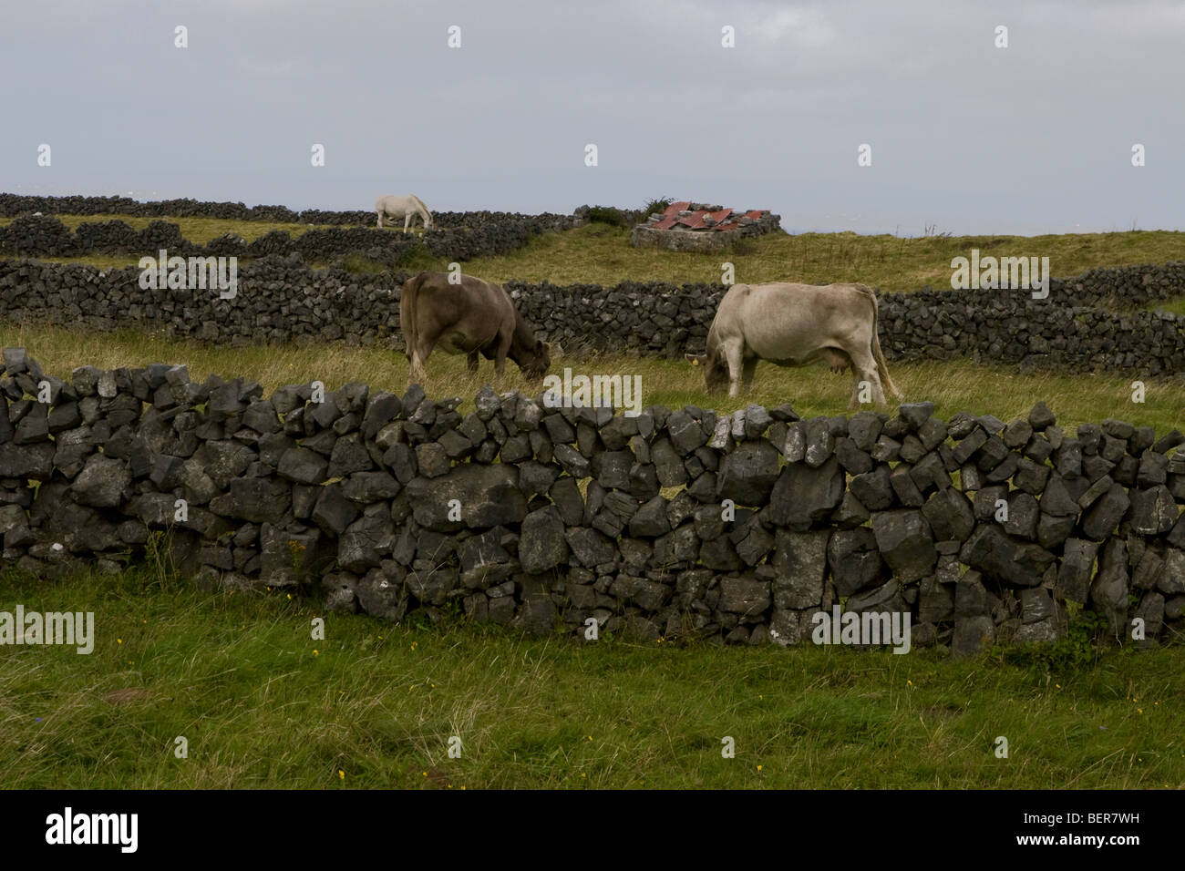 Cows in fields surrounded by traditional stonewalls, Inis Mor (Inismore) Island, Aran Islands, Co. Galway, Ireland - Stock Image