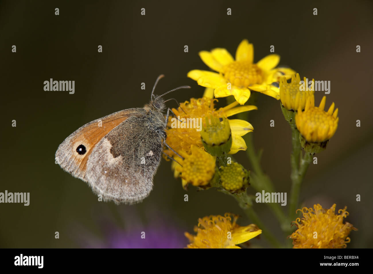 Small Heath, Coenonympha pamphilus, butterfly, Fen Bog, North Yorkshire, UK - Stock Image