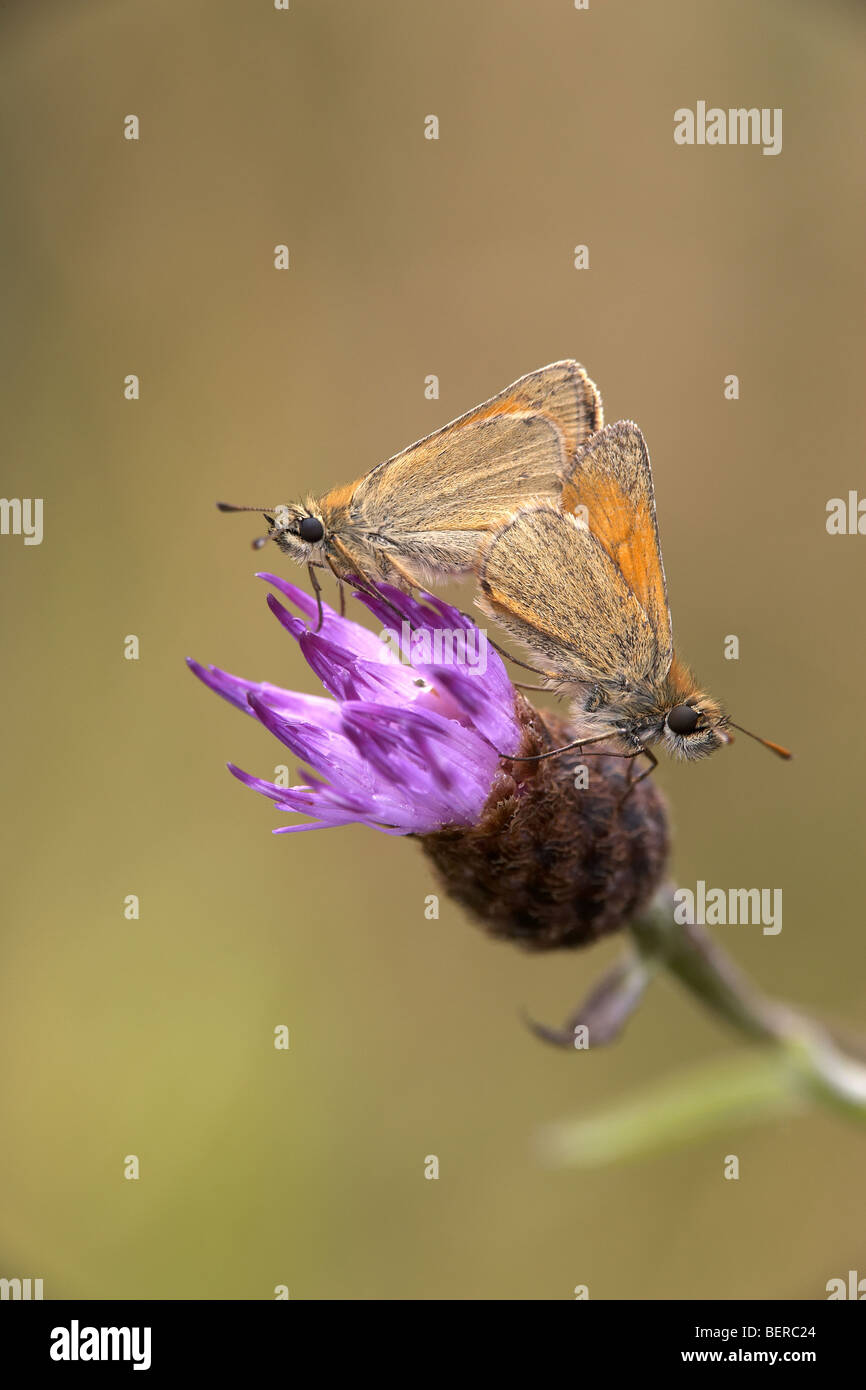 Small Skipper, Thymelicus sylvestris, butterflies mating, Fen Bog, North Yorkshire, UK - Stock Image