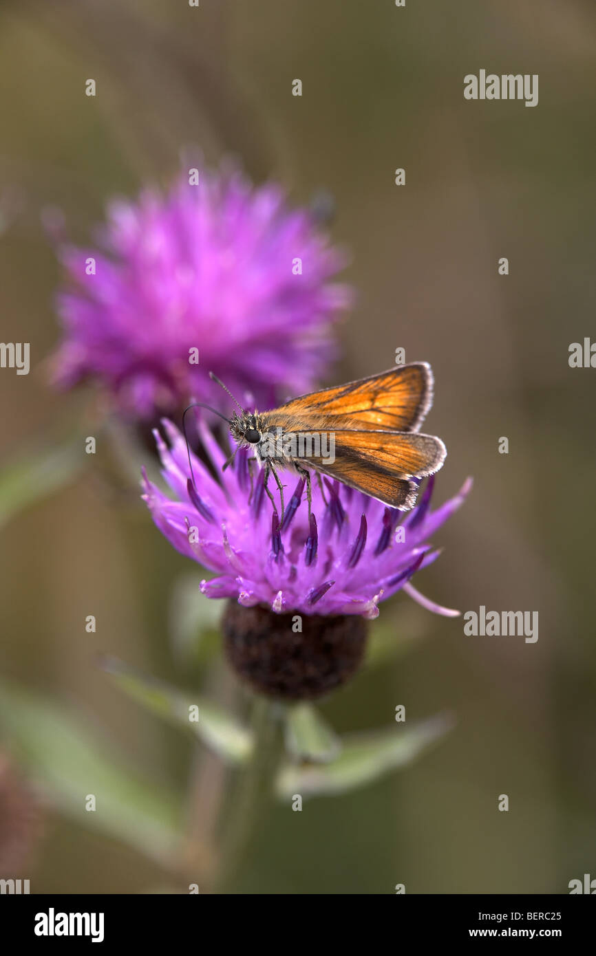Small Skipper, Thymelicus sylvestris, butterfly, Fen Bog, North Yorkshire, UK - Stock Image