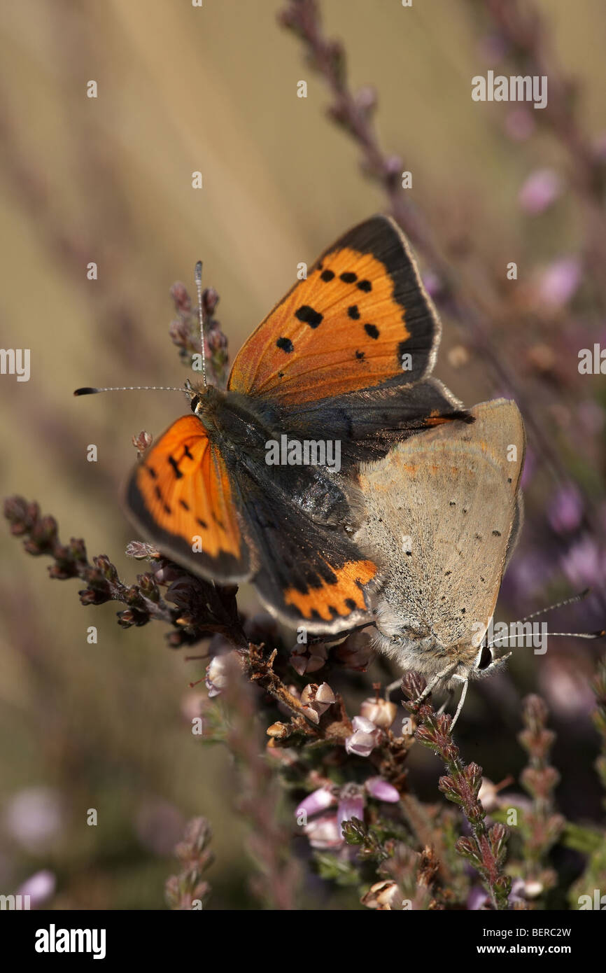 Small copper, Lycaena phlaeas, butterflies mating - Stock Image