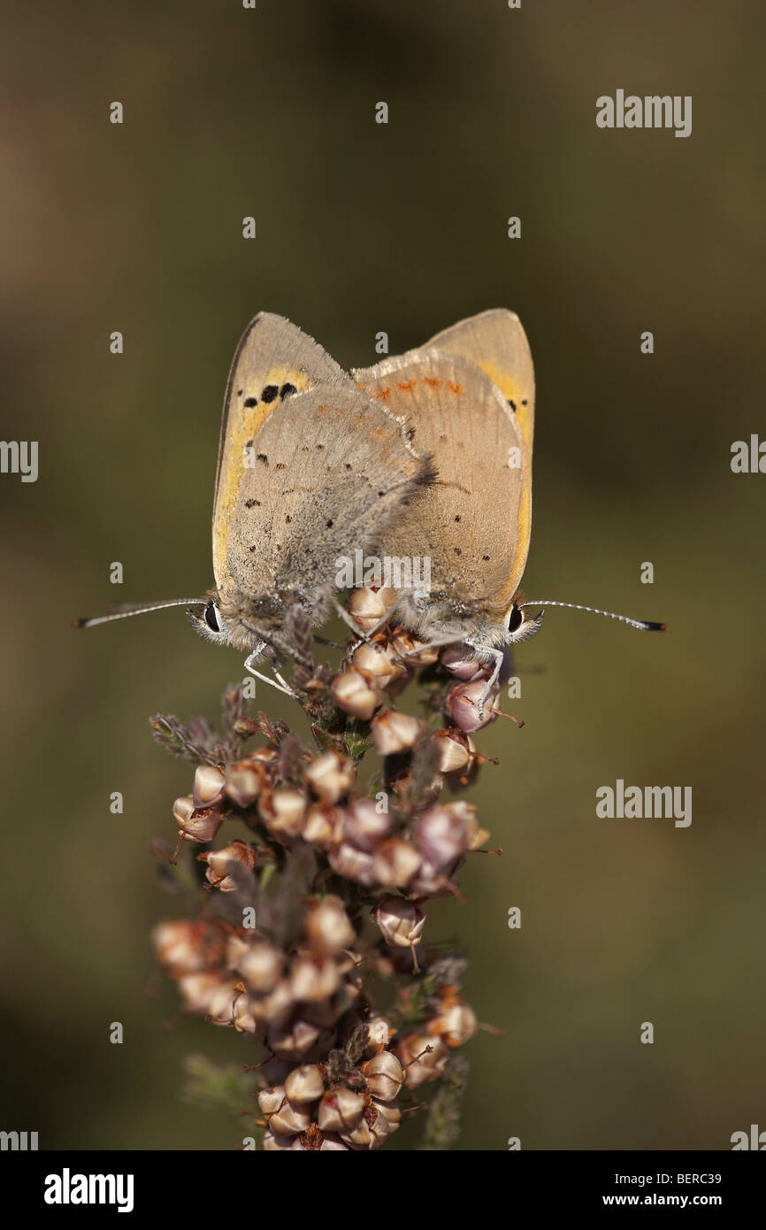 Small copper, Lycaena phlaeas, butterflies mating Stock Photo