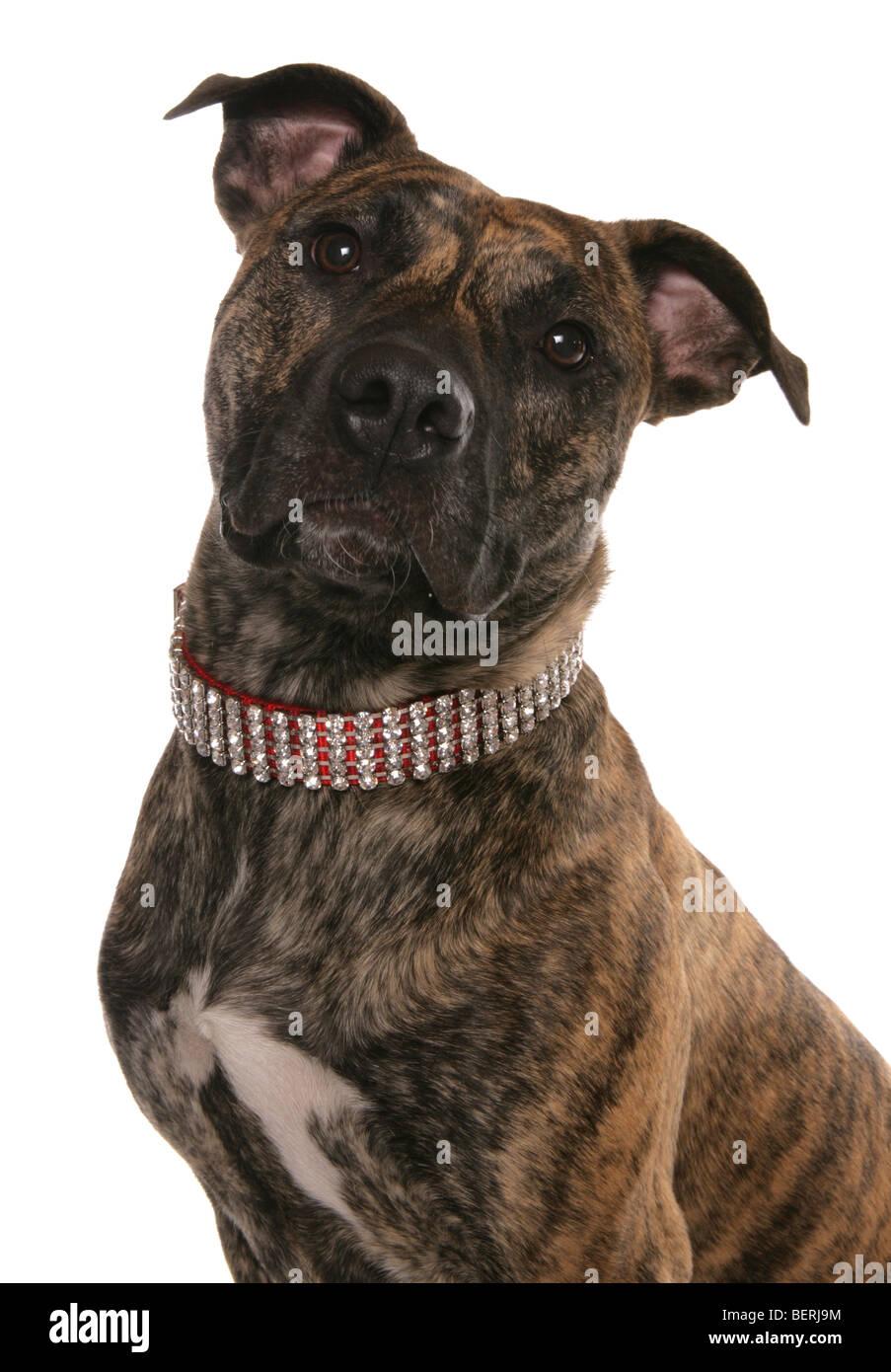 staffordshire bull terrier cross studio portrait - Stock Image