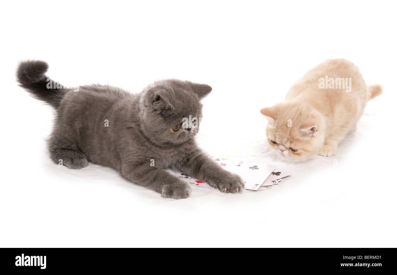 Exotic Shorthair Kittens Stock Photos & Exotic Shorthair Kittens