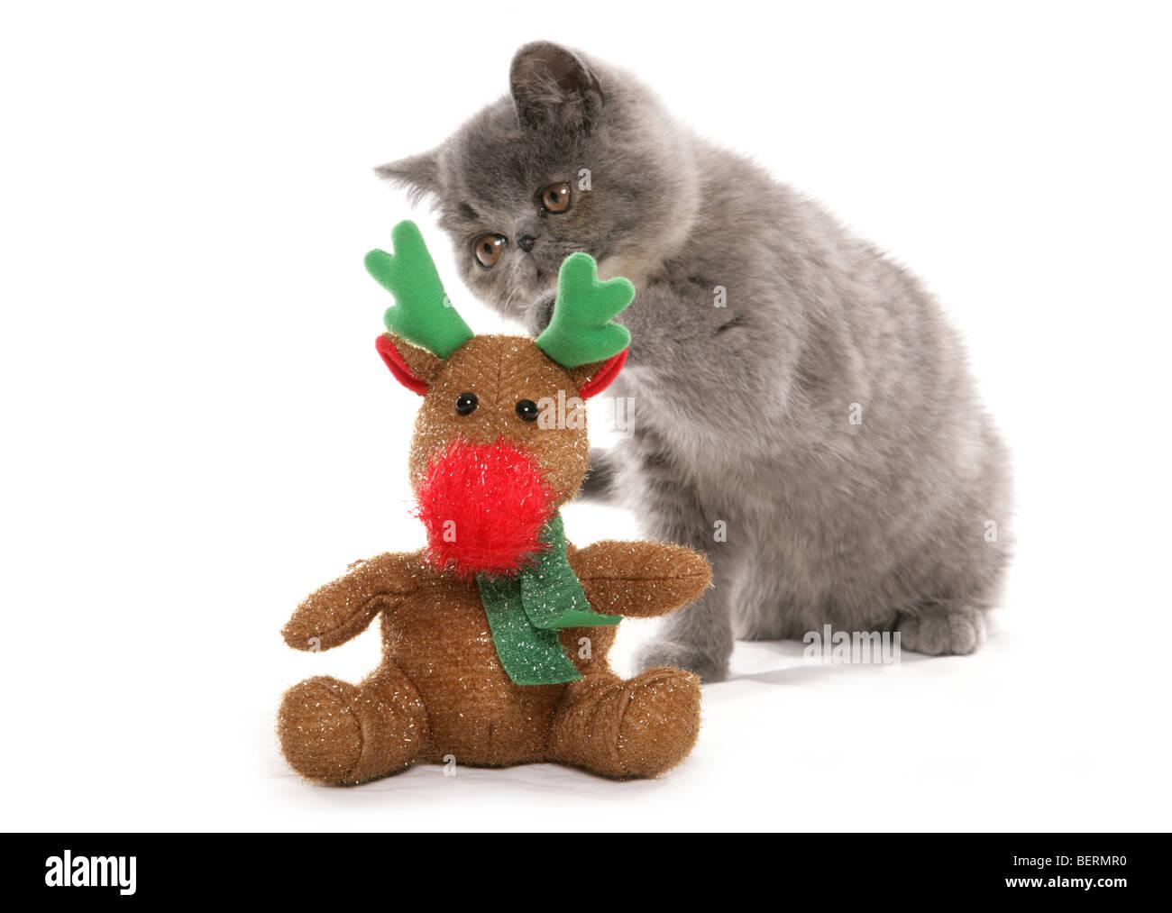 Exotic Shorthair Kitten With Reindeer Christmas Toy Studio Portrait