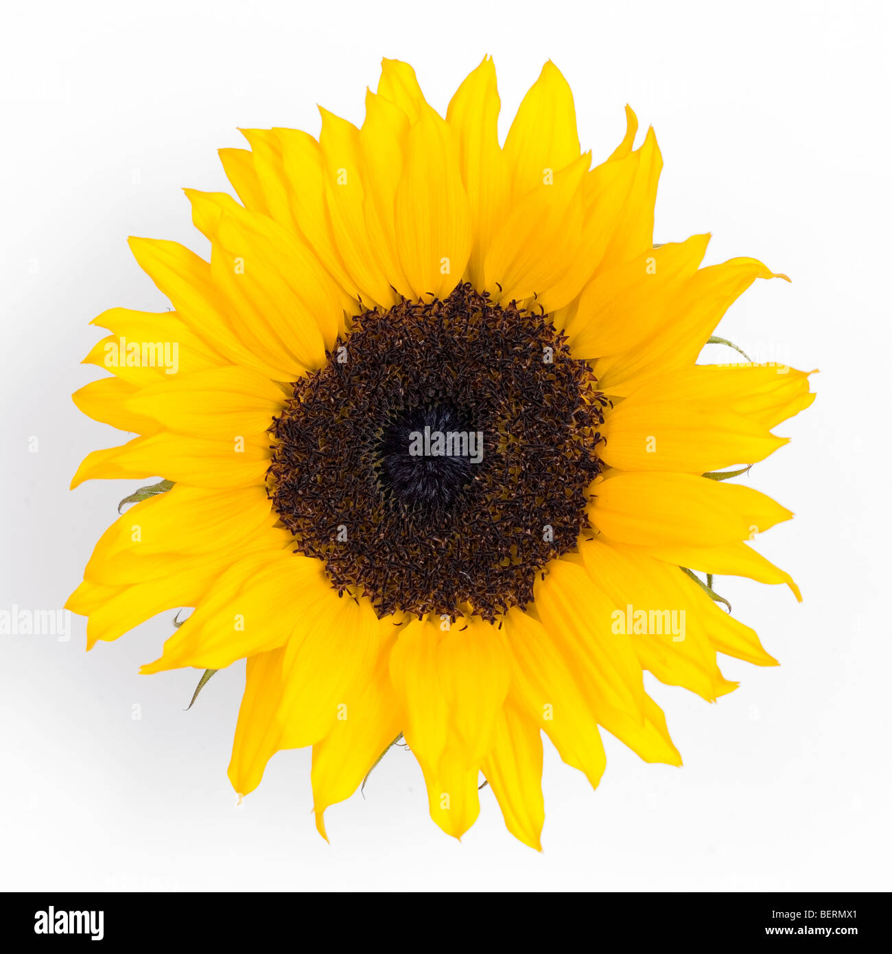 Sunflower against a white background - Stock Image