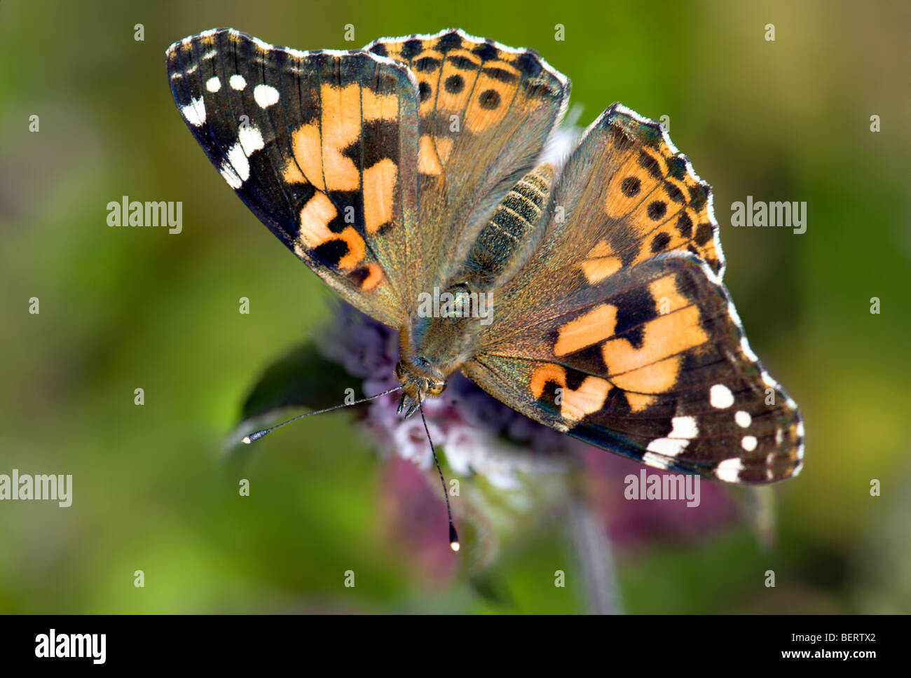 Painted lady butterfly feeding on wild mint plant with wings spread wide open and blurred background - Stock Image