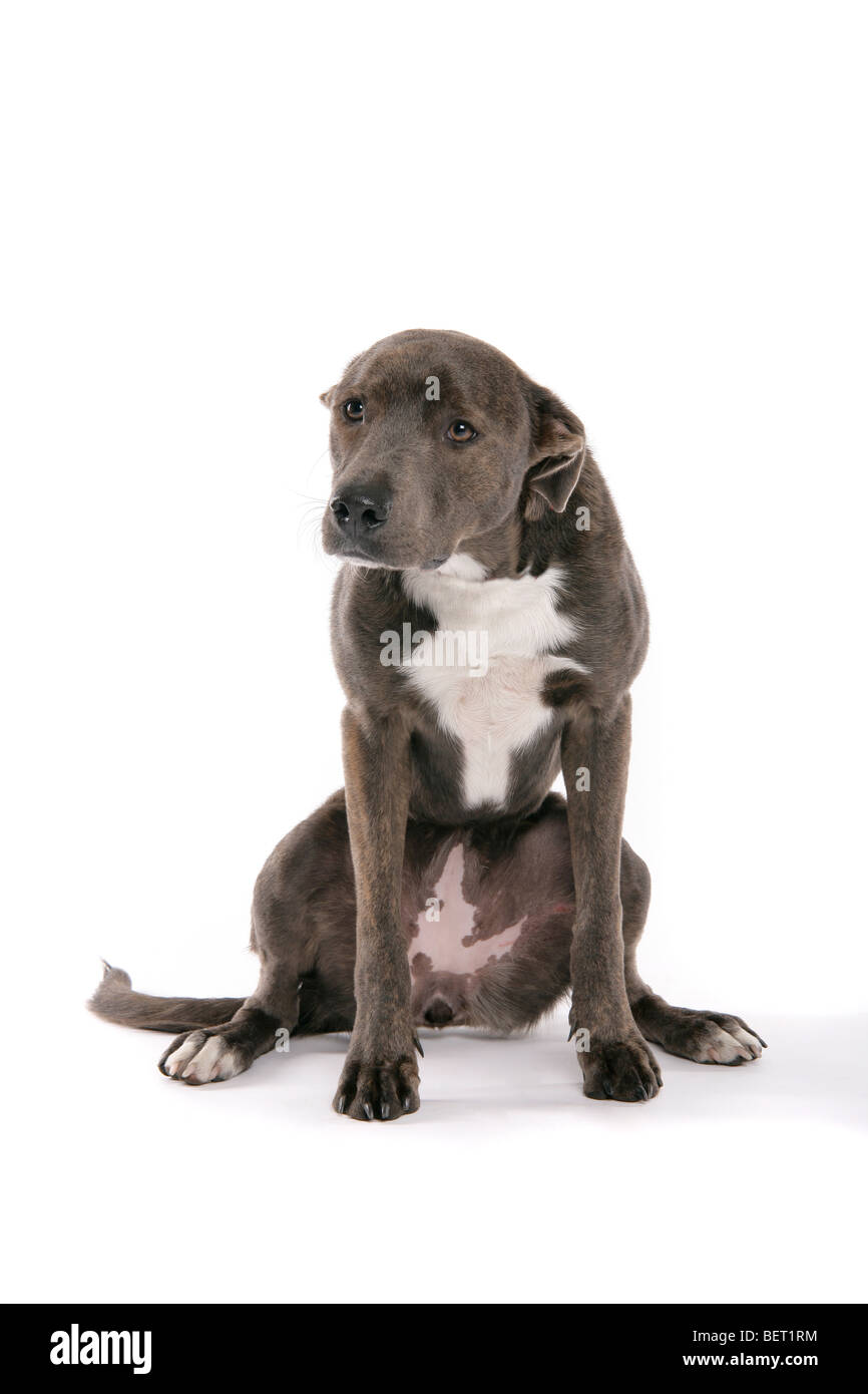 A sad brown, grey Lurcher dog sitting on its hind legs on a white background. - Stock Image