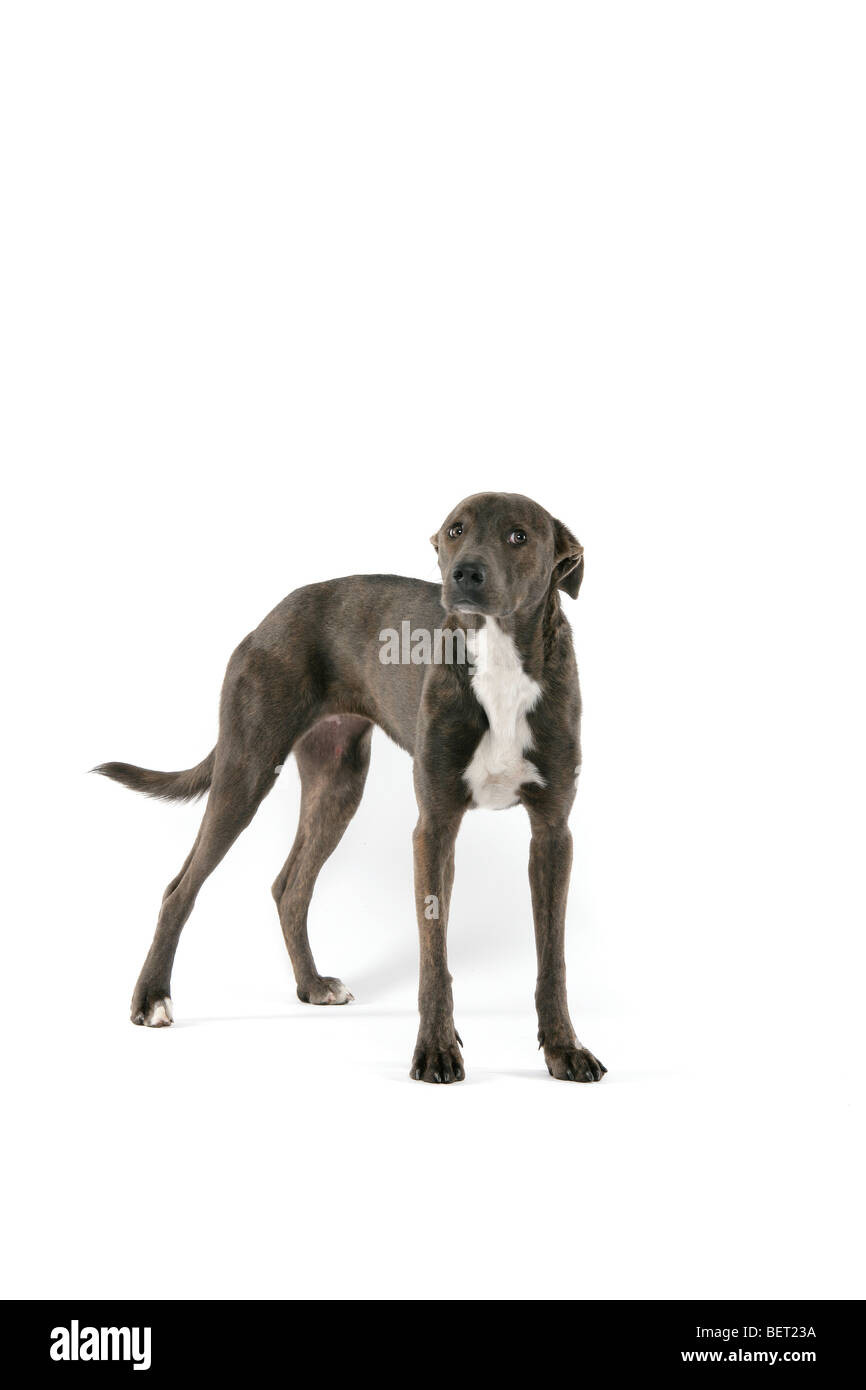 A sad brown, grey Lurcher dog standing on a white background. - Stock Image