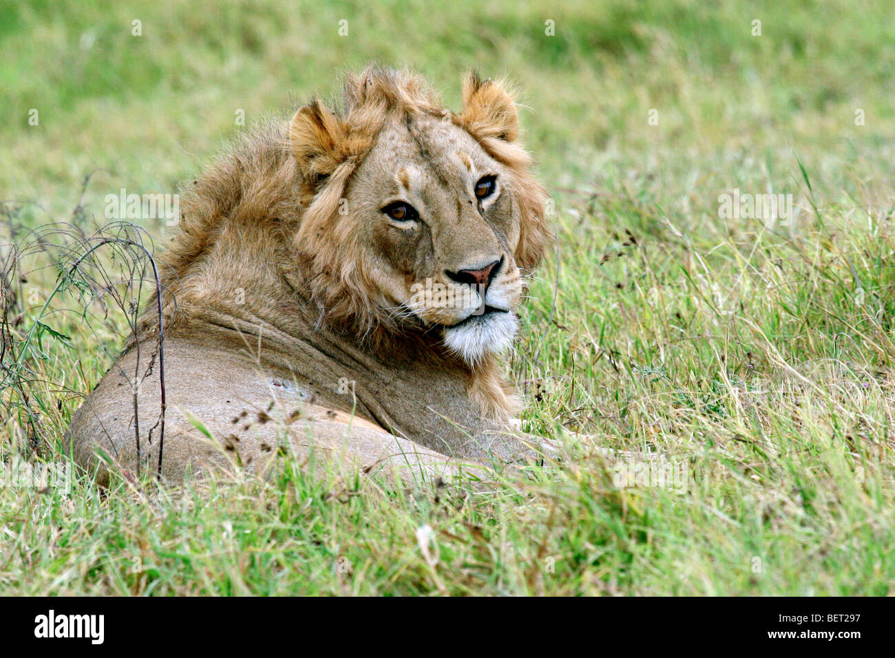Young male lion (Panthera leo) resting on the savanna, Ngorongoro crater, Tanzania, East Africa - Stock Image