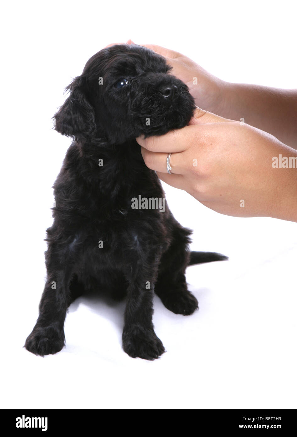 portugese water dog puppy being cleaned studio portrait - Stock Image