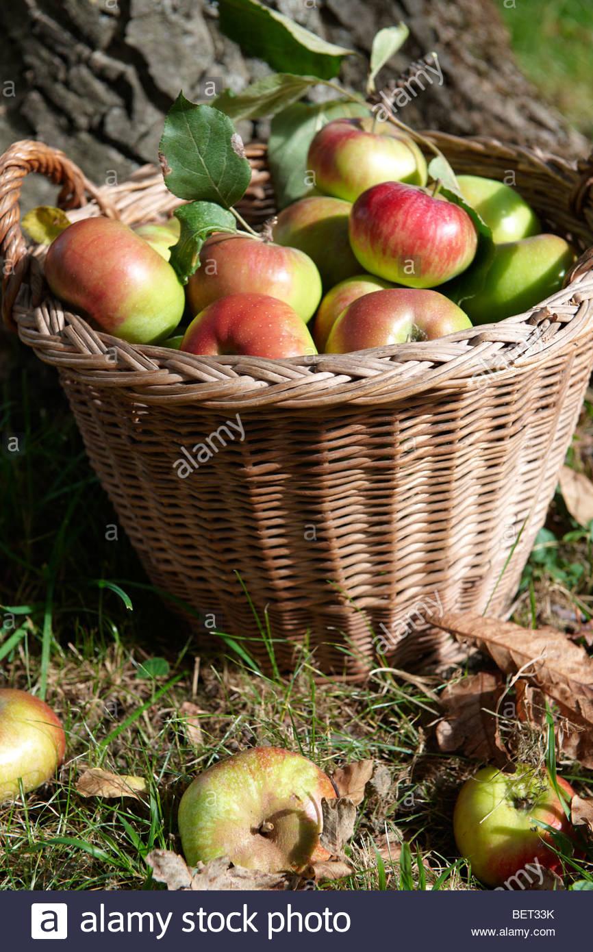 Fresh organic apples harvested in a basket in an apple orchard - Stock Image