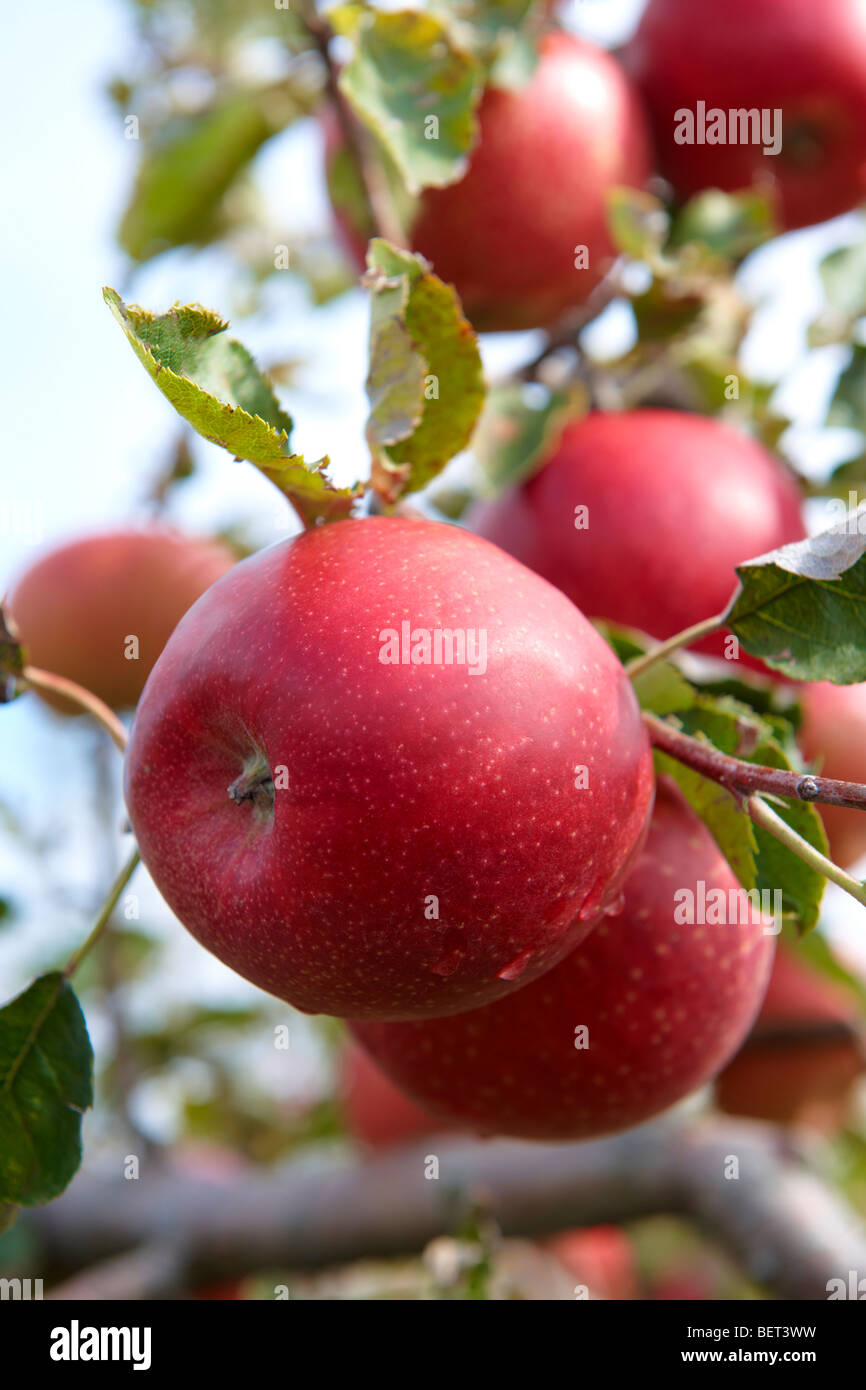 Fresh red apples on an apple tree in an orchard - Stock Image