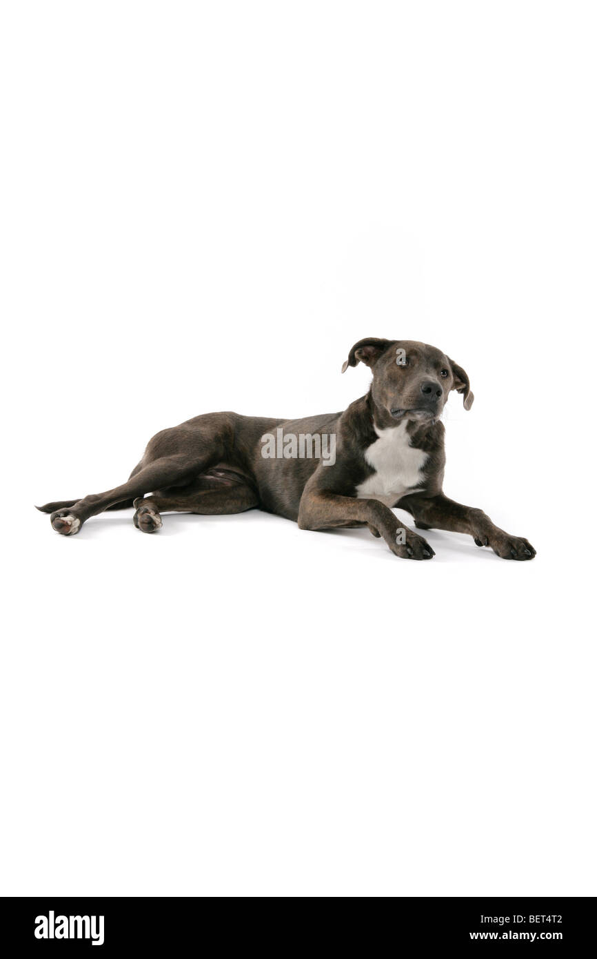 A sad brown, grey Lurcher dog lying on a white background with its ears perked up. - Stock Image