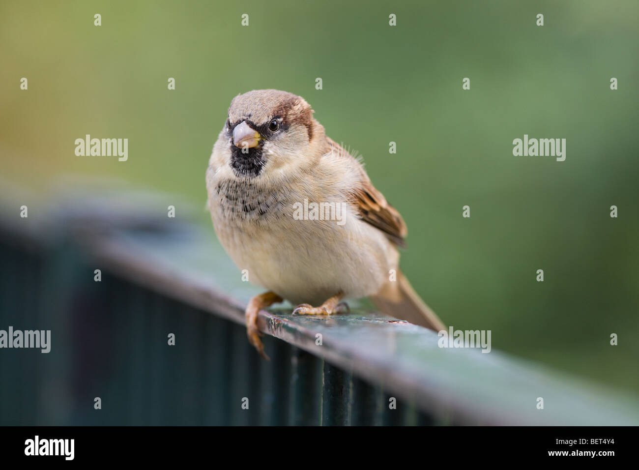 House Sparrow - Passer domesticus sitting on a fence Stock Photo