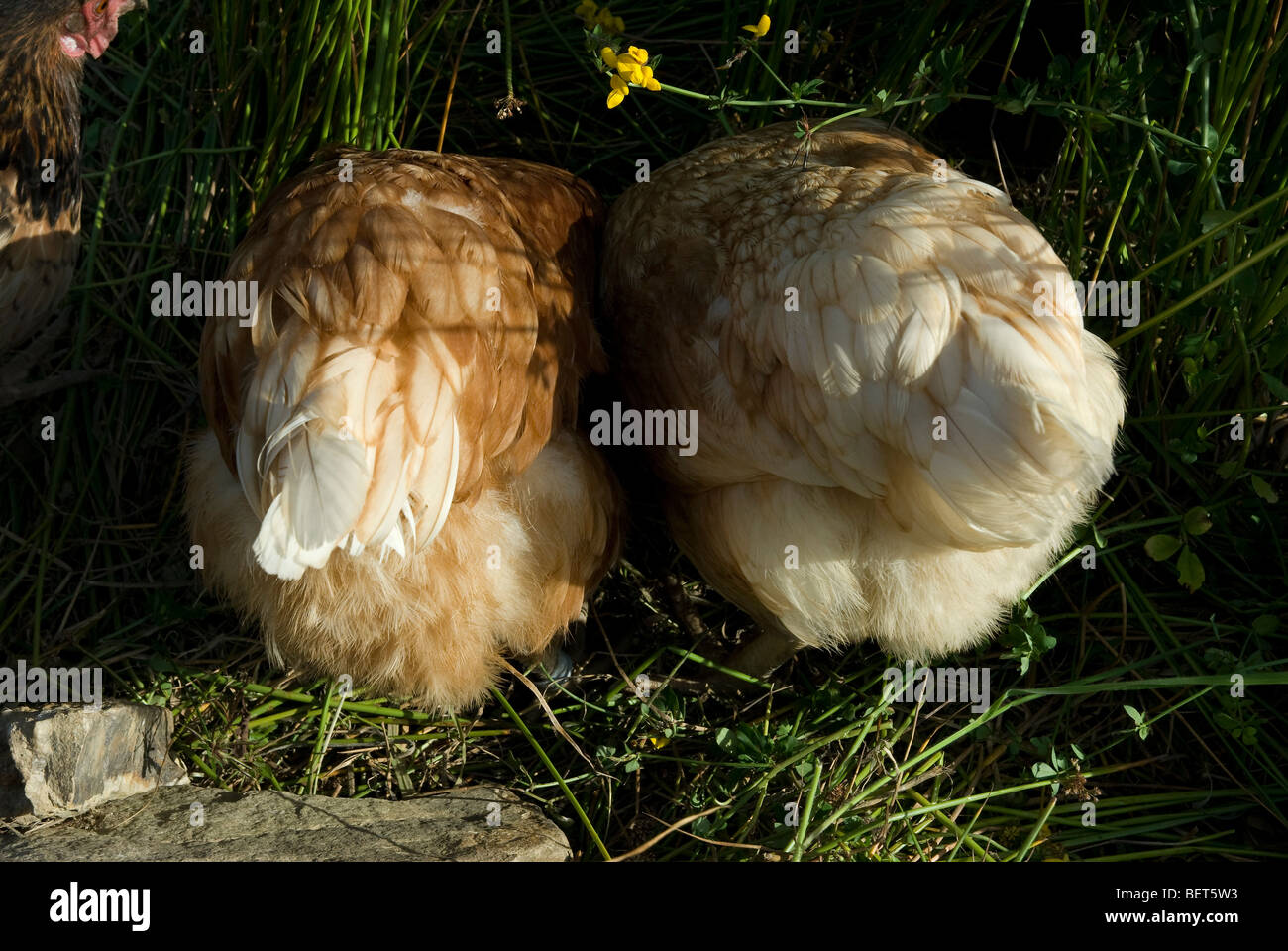 Two hens from behind - Stock Image