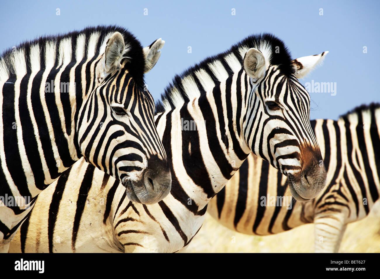 Zebras, Etosha National Park, Namibia - Stock Image