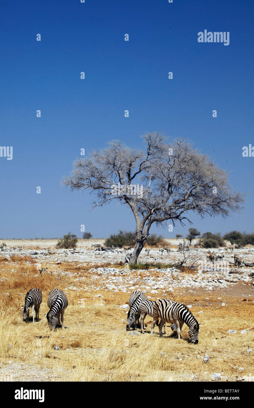 Zebras in grassland, Etosha National Park, - Stock Image