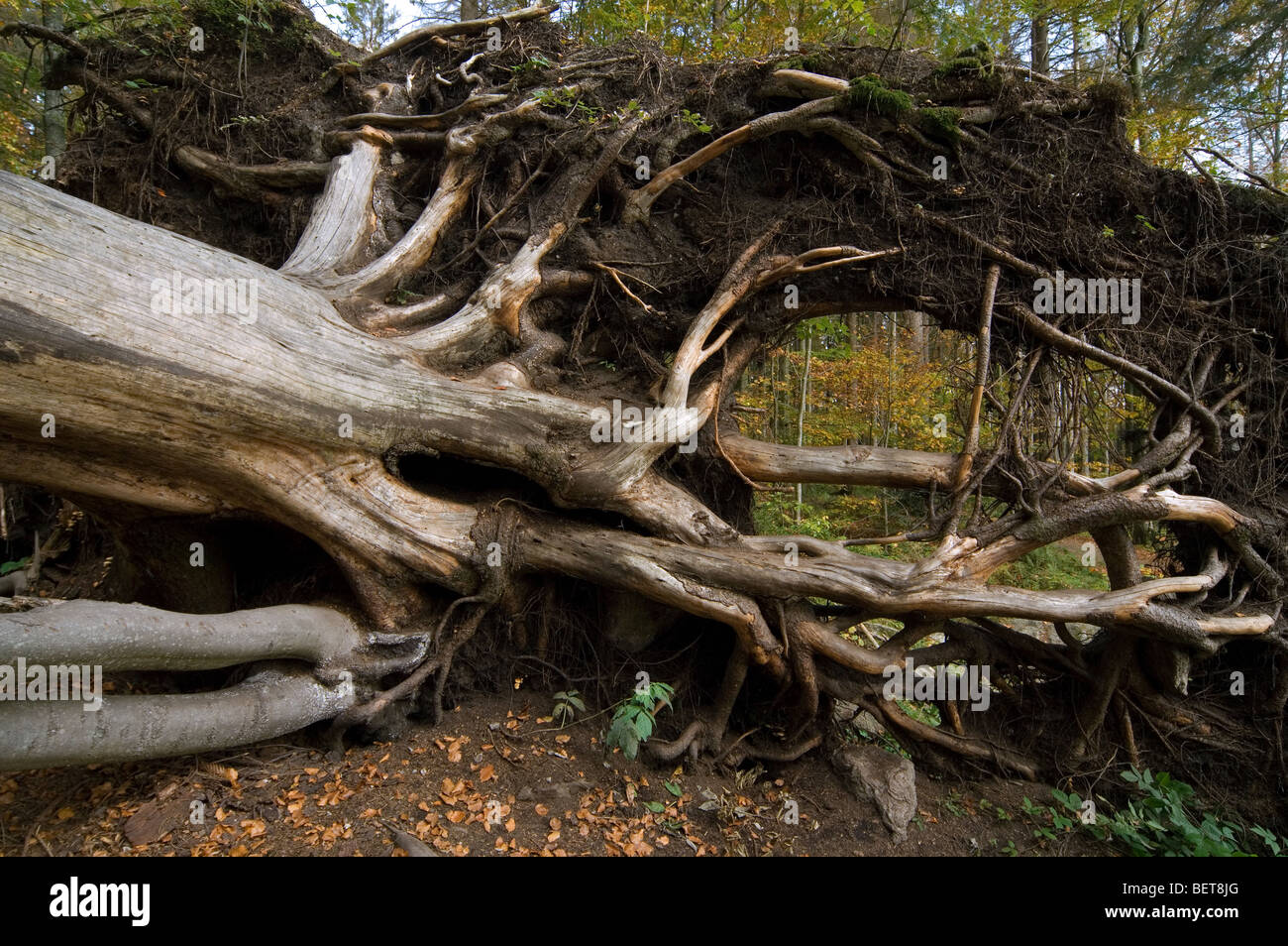 Fallen beech tree (Fagus sylvatica) exposing roots in autumn forest, Germany. - Stock Image
