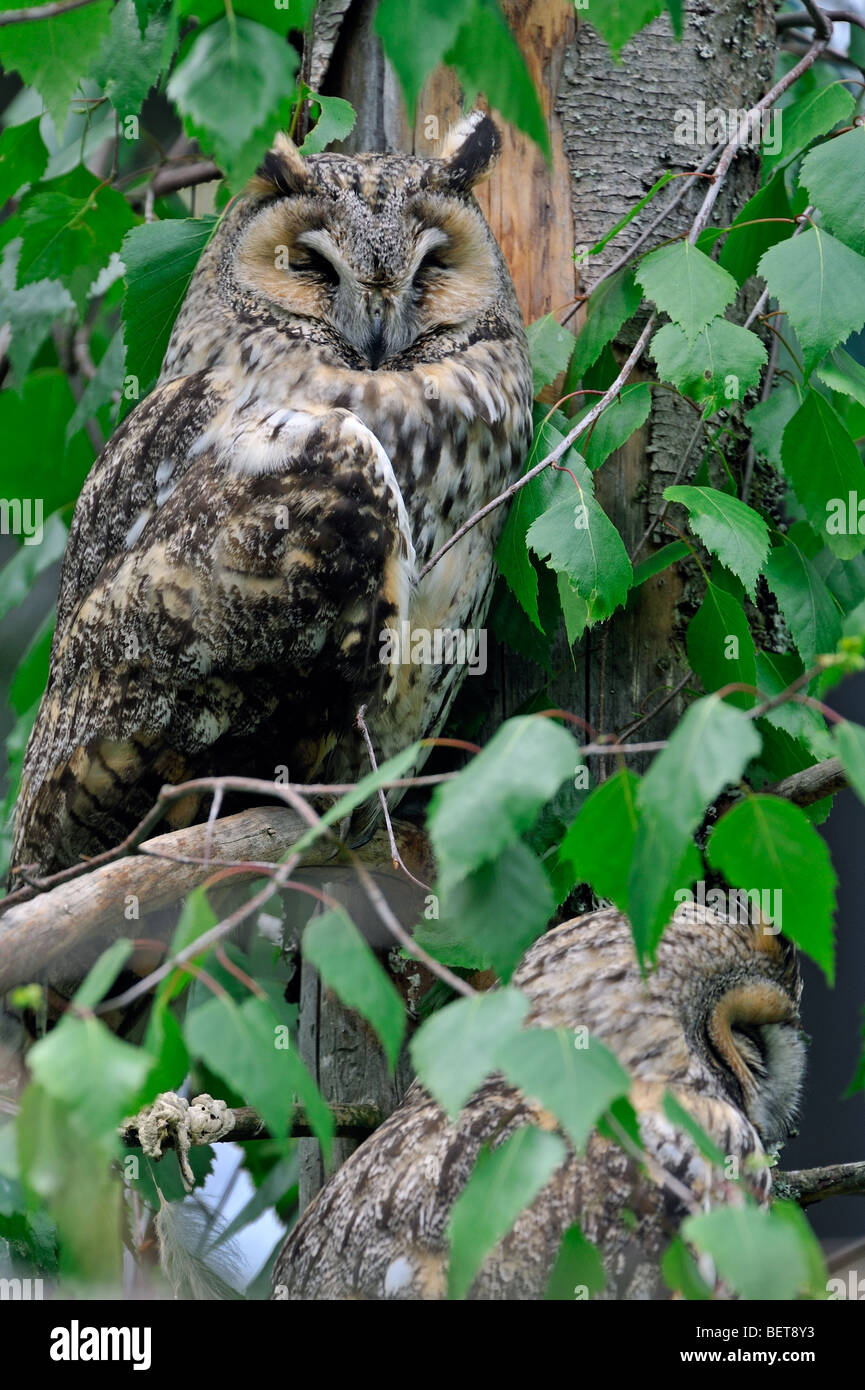 Two Long-eared owls (Asio otus) roosting in tree in forest - Stock Image
